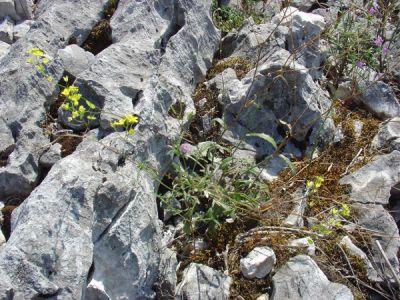 Pelouse pionniere des dalles calcaires