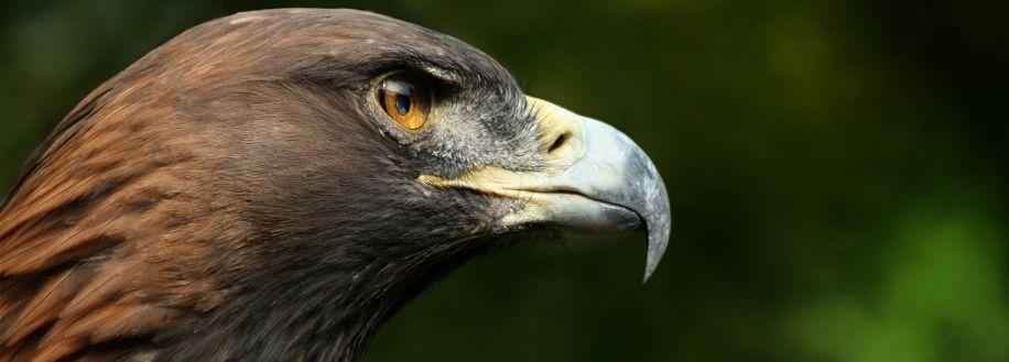 Profil d'aigle royal