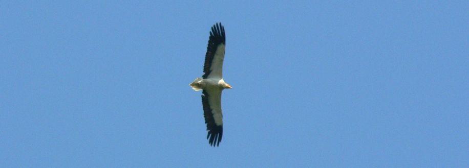 Vol de vautour percnoptère