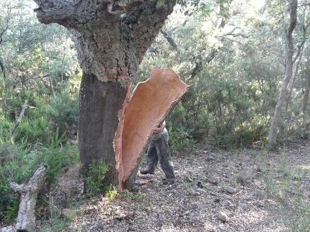 Récolte du liège dans une suberaie orientale - Pauline Marty (CRPF)