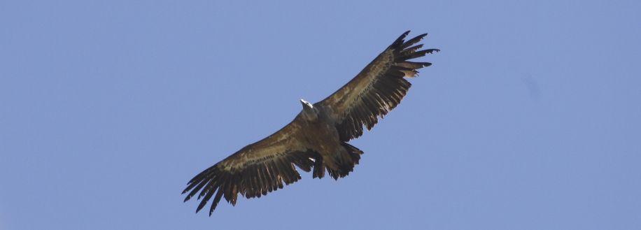 vautour fauve en plein vol